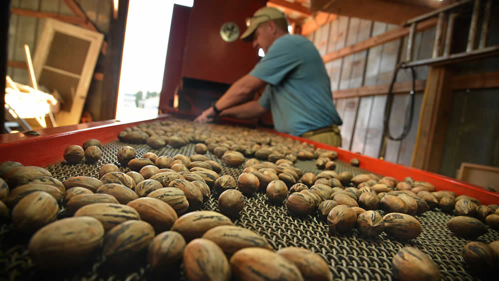 Freshly harvested pecans roll down a conveyor belt as Lakeview Pecans' Ben Byrd culls out the cracked shells.