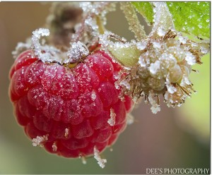 Cover photo for First and Last Frost Dates- Interactive Map & Chart