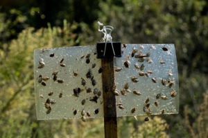 Picture of brown marmorated stink bugs on trap