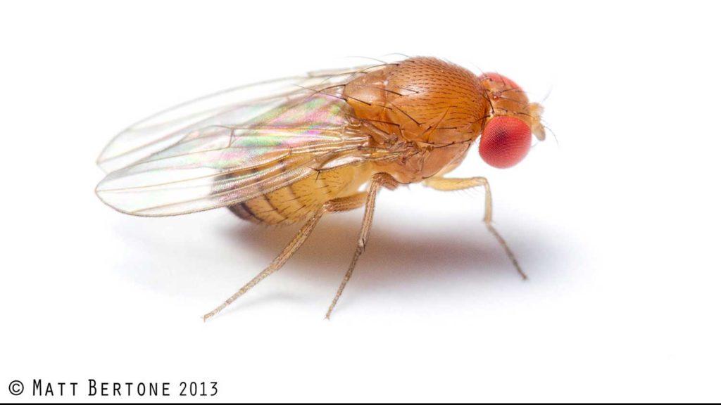 Female spotted wing Drosophila (Drosophilidae)