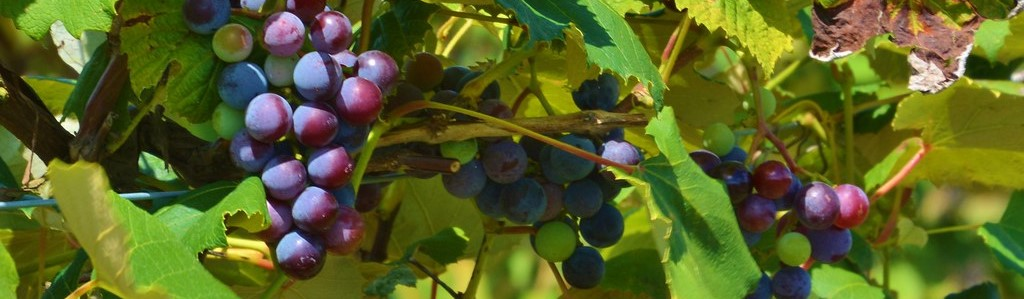 bunch grapes on the vine