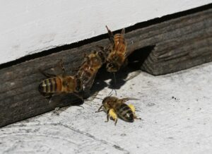 Cover photo for Chatham County Beekeepers Offer an Intro to Beekeeping Online Course